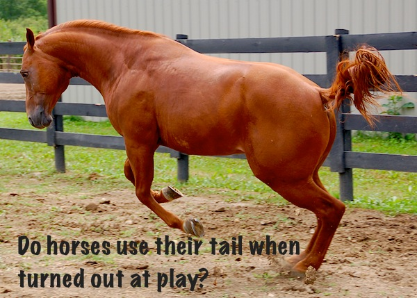 Horses tails when playing