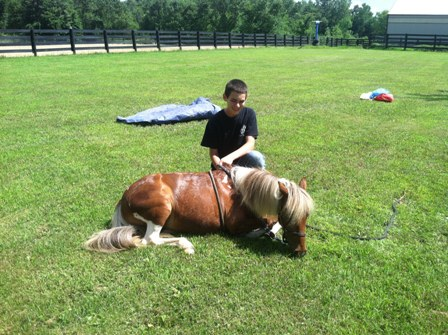 Mini horse trained to lay down