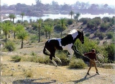 Paint horse jumping high