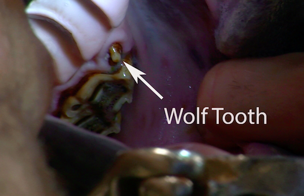 Jac wolf tooth