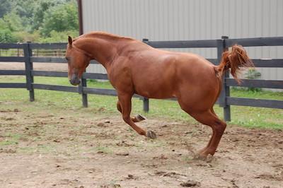Horse preparing for a huge buck.