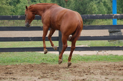Horse frozen in time during  a play jump straight up.