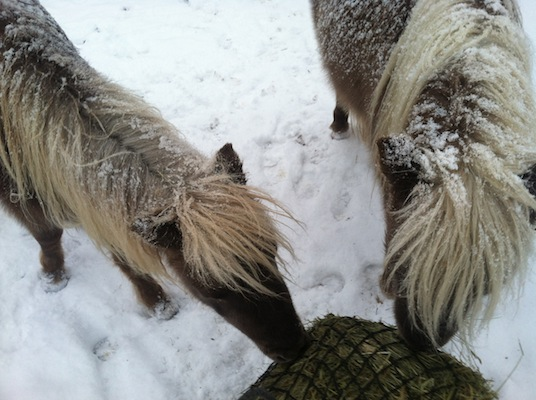 Mini's in the snow, horses in the cold