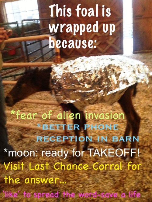Last Chance Corral foal wrapped to keep warm.