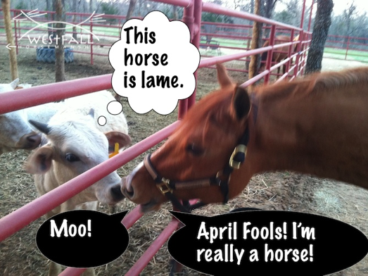This horse is lame, April Fools joke between a horse and cows.