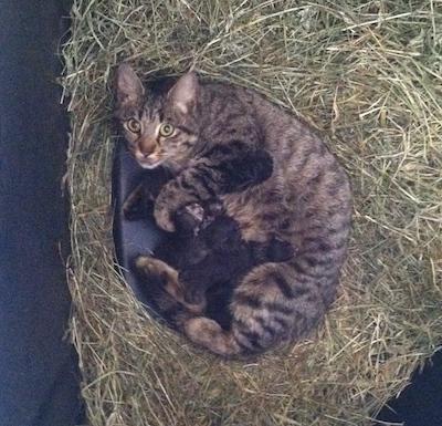 barn cat  with kittens in corner feeder