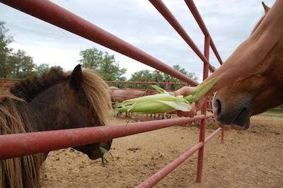 If the horses won't eat the corn husks...try a mini!
