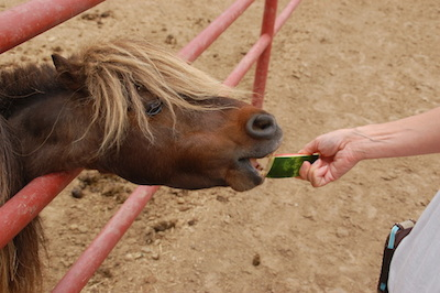 The horses wouldn't eat the watermelon but the mini would!
