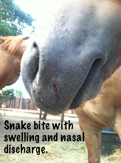 Horse with recent snake bite