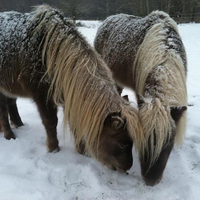 Mini horses in snow