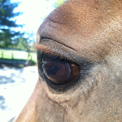 Click on photo to see photos on google of horses with moon blindness
