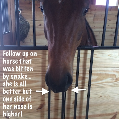 snake bit horse nose crooked