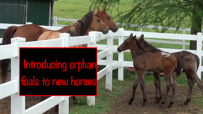 New Foals meet the Neigh-bors…the adult horses