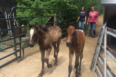 Day 1: Bringing the nurse mare foals home