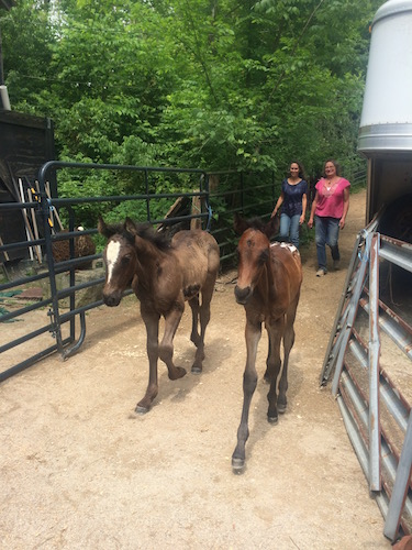 Stacy Westfall and Victoria Goss (owner of Last Chance Corral) loading foals