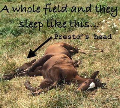 foals sleeping in sun