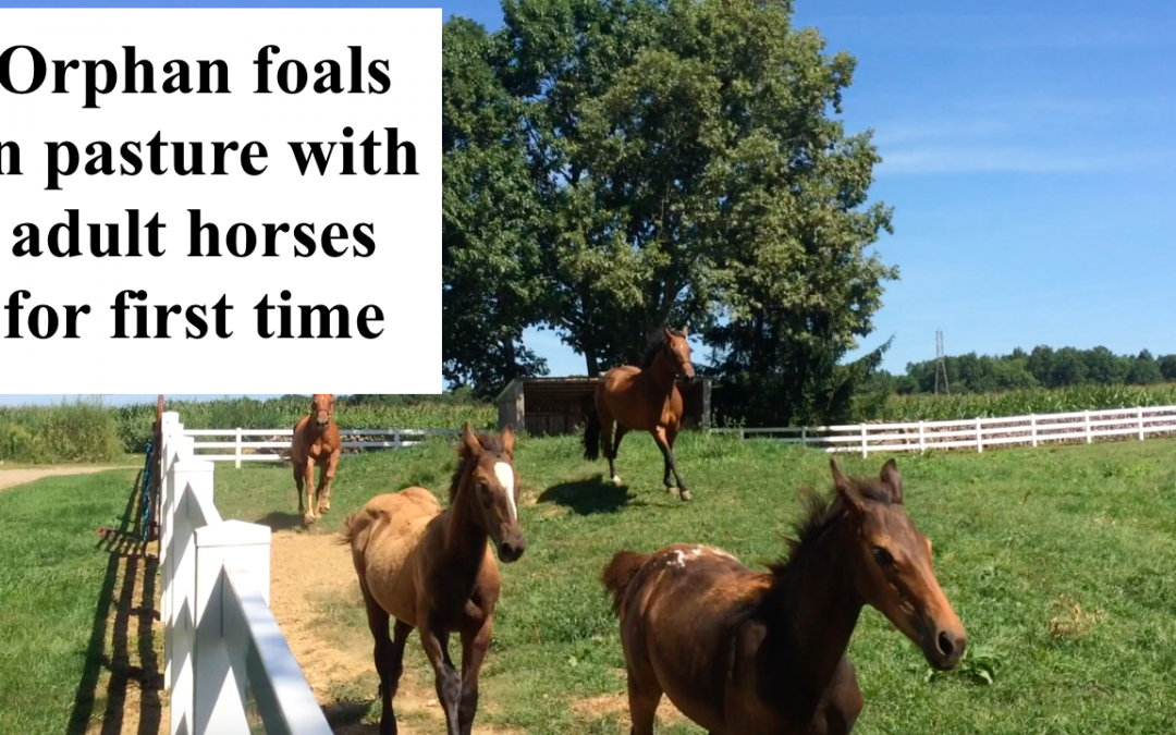 Video: update on Presto and Justice, pasture, trailer and BIG news!