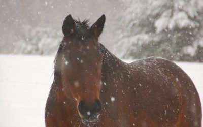 The old bay mare