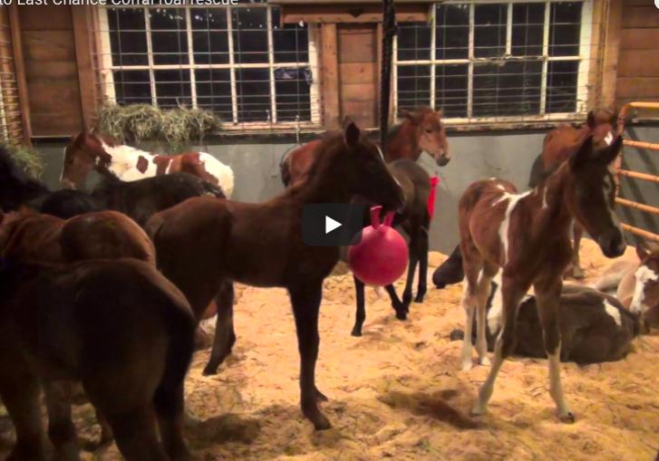 Last Chance Corral rescue nurse foals