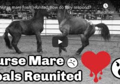 Nurse mare foals reunited, Presto and Justice after 18 months